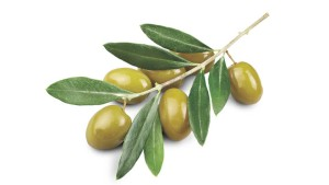 646500107-olive-branch-olive-leaf-green-olive-scion